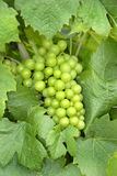 Young green grapes Stock Photos