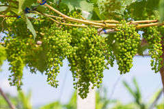 Young green grapes Royalty Free Stock Images