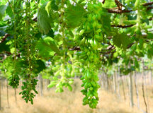 Young green grapes. Small grape in green farming Royalty Free Stock Photos
