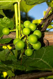 Young green grapes in the sun Royalty Free Stock Image