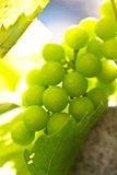 Young green grapes in the sun Stock Images