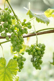 Young green grapes on a sunny day Royalty Free Stock Image