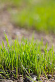 Young green gras growing Stock Photography