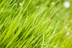 Young green grass. Young green grass grows in spring in the field stock image