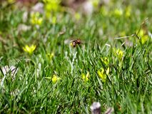 Young green grass around the yellow flower. Bee pollinating the first flowers of spring royalty free stock images