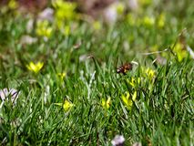 Young green grass around the yellow flower. Bee pollinating the first flowers of spring royalty free stock photo