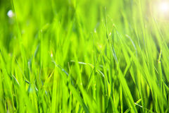 Young green grass as a background close-up macro Stock Image