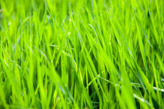 Young green grass as a background close-up macro Royalty Free Stock Photo