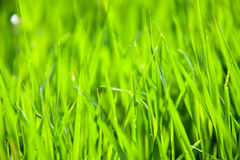 Young green grass as a background close-up macro Royalty Free Stock Images