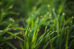 Young green grass with dew drops on spring morning. Closeup stock image