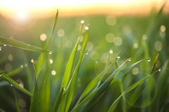 Young green grass with dew drops on spring morning. Closeup stock photo