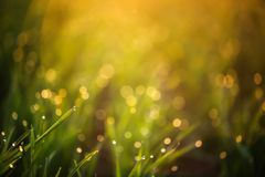 Young green grass with dew drops on spring morning. Closeup royalty free stock photo