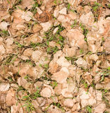 Young green grass growing through dry birch leaves Royalty Free Stock Photo