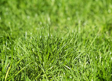 Young green grass on a lawn. Stock Photography