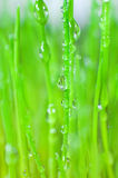 Young green grass, macro Stock Images
