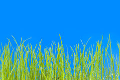 Young green grass, macro Royalty Free Stock Photography