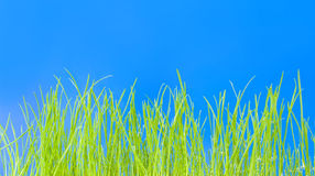 Young green grass, macro Royalty Free Stock Image