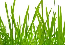 Young green grass (oat) Royalty Free Stock Photo