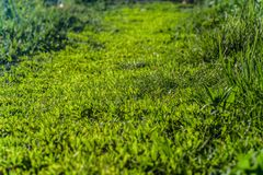 Young green grass path way. Natural spring plants background with limited depth of field. Royalty Free Stock Images