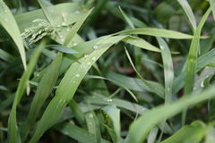 Young green grass after rain close-up Stock Photography