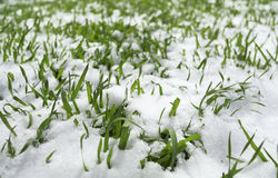 Grass in the snow. Young green grass sprouted through the snow Royalty Free Stock Image