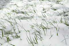 Grass in the snow. Young green grass sprouted through the snow Royalty Free Stock Photo