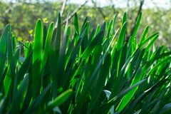 Young Green Grass. Sun day. Awakening of nature. Garden texture grow color colored land season light sunlight spring scene looking landscape ground billboard royalty free stock images