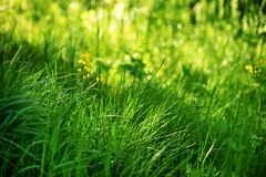 Young green grass in the sun royalty free stock image