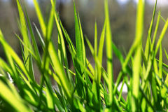 Young green grass in sunlight Stock Image