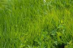 Young green grass royalty free stock photo