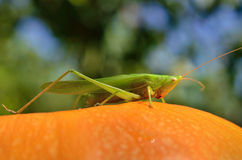 Young, green grasshopper sits on a yellow pumpkin.  Stock Photos