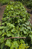 Young green growing cucumbers Royalty Free Stock Photos