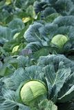 Young green head of cabbage Royalty Free Stock Photos