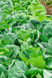 Young green heads of cabbage Stock Image