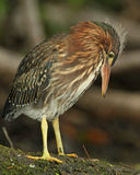 Young Green Heron with Ant Crawling on its Leg Stock Photography