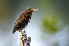 Young Green Heron (Butorides virescens) Perched Royalty Free Stock Photos