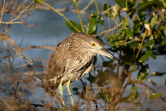 Young green heron in soft morning light Stock Image