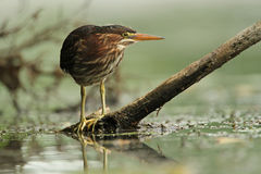 Young Green Heron Stalking its Prey in River Stock Photos
