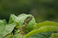 Young Green Iguana Royalty Free Stock Photography