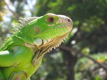 Young Green Iguana. Close up showing facial features Royalty Free Stock Photos