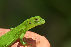 Young Green Iguana Perched on a Terracotta Pot Royalty Free Stock Image