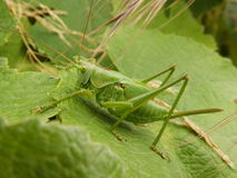 Young green insect. A young green insect on a leaf Royalty Free Stock Photo