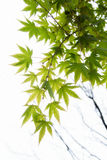 Young green Japanese maple tree leaves illuminated by sunlight background Royalty Free Stock Image