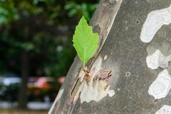 Young green leaf grew on the trunk of the plane tree Stock Photo