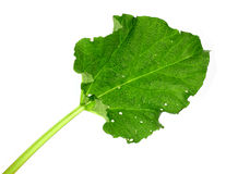 Young green leaf of pieplant isolated on white background Royalty Free Stock Photo