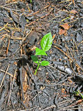 Young green leafs,carbonized and charred forest, Royalty Free Stock Photos