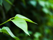 Young green leaves. A couple of young green leaves in shallow depth of field Stock Image