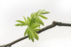 Free Young Green Leaves Stock Photo - 19259320