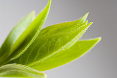 Young green leaves Royalty Free Stock Photography