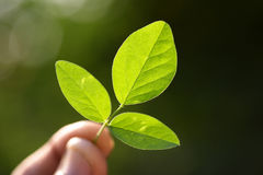 Young green leaves Stock Images